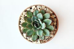 Echeveria succulent in a pot royalty free stock images