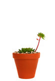 Echeveria Succulentanlage Stockfoto