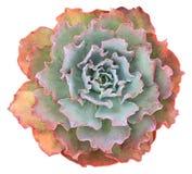 Echeveria Succulente Curlylocks royalty-vrije stock fotografie