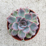 Echeveria suckulent Royaltyfri Foto