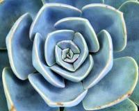 Echeveria suckulent växtslut upp blom- abstrakt bakgrund Arkivbild