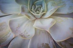 Echeveria Tłustoszowata roślina Fotografia Royalty Free