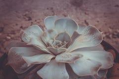 Echeveria tłustoszowata roślina filtrująca Obrazy Stock