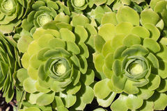 Echeveria tłustoszowate kwiatonośne rośliny, Crassulaceae rodzina Fotografia Stock