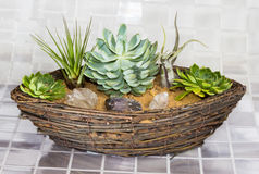 Echeveria and Tillandsia growing in a basket Royalty Free Stock Photo
