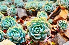 Echeveria växter Arkivbilder
