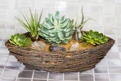 Echeveria y Tillandsia que crecen en una cesta Foto de archivo libre de regalías