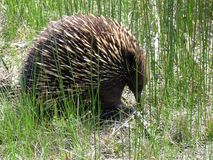 Echidna Photo stock