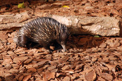 Echidna. On brown background in Australia Royalty Free Stock Photos