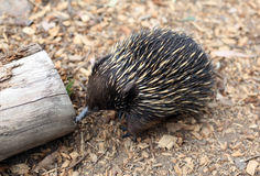 Echidna. Australian echidna in the bush looking for food Royalty Free Stock Images