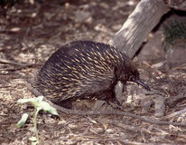 Echidna. Navigating through the forest ground litter Stock Image