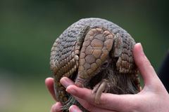 Echidna. Baby echidna in a zoo in the UK Stock Photos