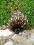 Echidna. Close up of an echidna Stock Image