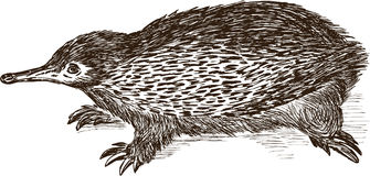 Echidna Royalty Free Stock Images