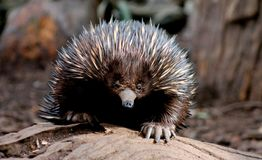 Echidna Photos stock
