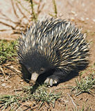 Echidna Anteater. An australian echidna or spiny anteater walks along Royalty Free Stock Images