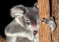 Echidna anteater Στοκ Εικόνες