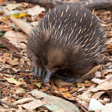Echidna anteater. Unique to Australia. A small monotreme with spikes rolls into ball when senses danger.Echidnas, sometimes known as spiny ant eaters, belong to Stock Image
