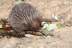 Echidna anteater Royalty Free Stock Photography