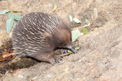 Echidna anteater Stock Photos