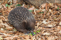 Echidna anteater Royalty Free Stock Images