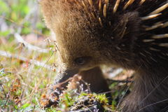 Echidna. In Australia Royalty Free Stock Photography