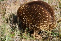Echidna. In Australia Stock Photo