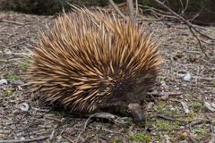 Echidna australian endemic animal Stock Images