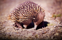 Echidna. Australian native Echidna animal with its spikey back for protection Stock Photography