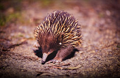 Echidna. Australian native Echidna animal with its spikey back for protection Royalty Free Stock Photo