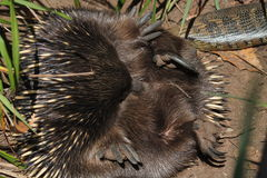 Echidna Stock Photos