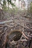 Echidna australiana Fotografie Stock