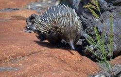 Echidna australiano, el oso hormiguero espinoso, imagenes de archivo
