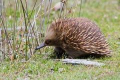 Echidna australiano que anda através da grama Imagem de Stock Royalty Free