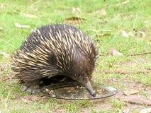 Echidna australiano que come o alimento para cães Imagem de Stock Royalty Free