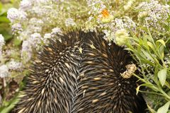 Echidna australien indigène photos libres de droits