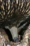 echidna australijski Zdjęcie Stock