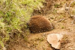 Echidna burrowing for protection Royalty Free Stock Photo