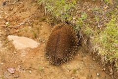 Echidna burrowing for protection Stock Photos