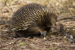 Echidna in the Bush Stock Photo