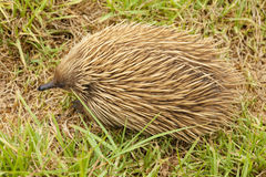 Echidna in the bush Royalty Free Stock Images
