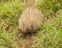 Echidna in the bush Stock Images