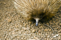 Echidna. This is a close up of a echidna Royalty Free Stock Images
