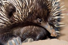 Echidna Closeup Stock Photos