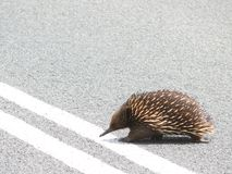 Echidna crosses road. The Echidna (Tachyglossus aculeatus) crosses road. Australia, Victoria, Great Ocean Road Royalty Free Stock Photography