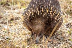 Echidna de pico corto salvaje que forrajea en la roca de la ejecución, Victoria, Australia, marzo de 2019 imagen de archivo libre de regalías
