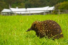 Echidna digging in an Aussie backyard Royalty Free Stock Photo