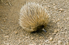 Echidna. The echidna is searching for ants Stock Photography