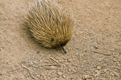 Echidna Stock Photography