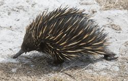 Echidna Royalty Free Stock Photography